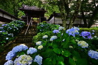 紫陽花寺 - 季節の写真・・・感
