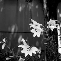 44モノクロフィルムで撮るユリ - 照片画廊