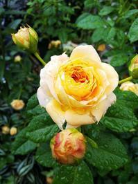 今日のラ ドルチェ ヴィータなど - 小庭の園芸日記