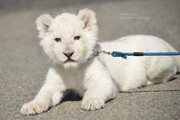 2020.3.15 東北サファリパーク☆ホワイトライオンのいっきゅう君【White lion baby】 - 青空に浮かぶ月を眺めながら
