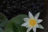 今日の向島百花園ヒツジグサオニユリシオカラトンボトウゴウキクシモツケ - meの写真はザンス