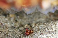 ハナイカと卵 - Diving Photo web図鑑