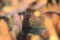 セダカギンポと卵 - Diving Photo web図鑑