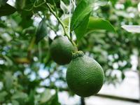 デコポン(肥後ポン)摘果&玉吊り作業後の成長の様子を現地取材(2020) - FLCパートナーズストア