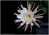庭の花-30月下美人 - 野鳥の素顔 <野鳥と日々の出来事>