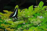■蝶 3種 (3)20.7.24(アオスジアゲハ、ムラサキシジミ、ルリシジミ) - 舞岡公園の自然2
