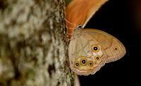 大暑桐始結花その1 - 紀州里山の蝶たち
