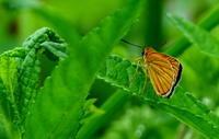 大暑桐始結花その3 - 紀州里山の蝶たち
