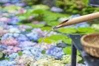 7月初めの鎌倉・長谷寺の紫陽花 - エーデルワイスPhoto