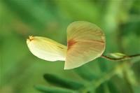 クサネム草合歓 - 里山の四季