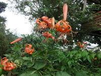 鬼百合 - だんご虫の花