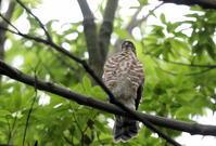 ツミその17(雛4羽は元気に巣立つ) - 私の鳥撮り散歩