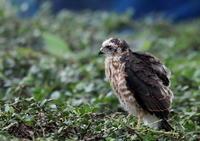 ツミその16(早すぎた巣立ち②) - 私の鳥撮り散歩