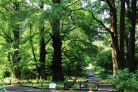 ラクウショウ - お散歩写真     O-edo line