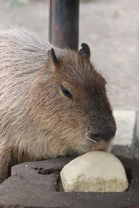 カピバラ母娘「ルナ&リオ」とカヤネズミ(井の頭自然文化園 August 2019) - 続々・動物園ありマス。