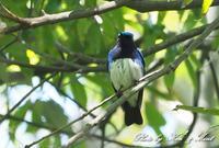 夏鳥代表「オオルリ」さん♪思わぬ場所で遭遇^^ー在庫からー - ケンケン&ミントの鳥撮りLifeⅡ
