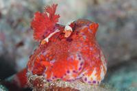 ウミウシカクレエビ・ニシキウミウシ - Diving Photo web図鑑