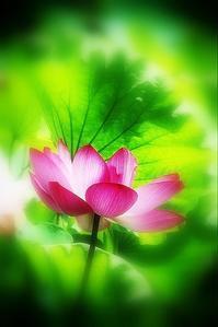 蓮の花夢想 - ♪一枚のphotograph♪