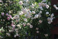 ランブラーだけど - my small garden~sugar plum~