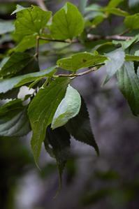 オオムラサキの羽化 - 蝶超天国