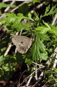 今年も出会えたオオヒカゲとオナガシジミ - 蝶超天国