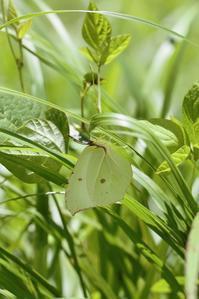 ヤマキチョウとスジボソヤマキチョウの様子 - 蝶超天国