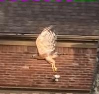 今朝、庭で見かけた猛禽類(鷹?) - じゃポルスカ楽描帳