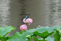 蓮にカワセミ ⑤ - azure 自然散策 ~自然・季節・野鳥~