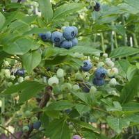 ブルーベリーを収穫 - sola og planta ハーバリストの作業小屋