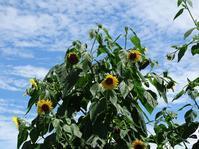 畑のヒマワリ - Magnolia Lane 2