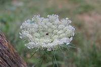 """ワイルドキャロットのお花 - 英国メディカルハーバリスト&アロマセラピストのブログ""""Herbal Healing 別館"""""""