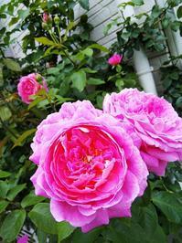 連休最後も雨なのね - 小庭の園芸日記