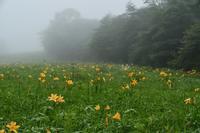 霧降高原のニッコウキスゲ(良)2020年7月5日撮影 - 野山の花たち