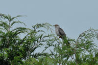 高原....カッコウ成鳥と若鳥 - 新 鳥さんと遊ぼう