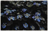 過日の紫陽花 - コバチャンのBLOG