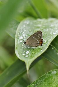 雑木林のゼフたち - 蝶超天国
