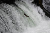 さくらの滝【サクラマス遡上】 - へっぽこあるぴにすと☆