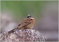 ホオジロ成鳥♂と幼鳥 - 野鳥の素顔 <野鳥と日々の出来事>