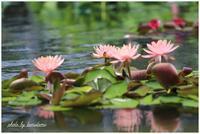 咲くやこの花館睡蓮 - 今日のいちまい