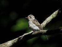 コサメビタキとその幼鳥 - コーヒー党の野鳥と自然パート3