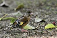 カワラヒワの幼鳥さん - 鳥と共に日々是好日②
