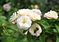 Garden Story「実録!バラがメインの庭づくり第7話」 - バラとハーブのある暮らし Salon de Roses