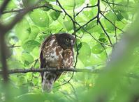 幼鳥の見張り、 - ぶらり探鳥