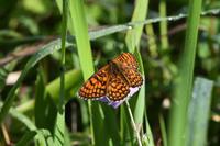 夏の高原のチョウたちその1(2020/07/19) - Sky Palace -butterfly garden- II