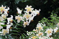 レンゲショウマ他、夏の花 - 上州自然散策3