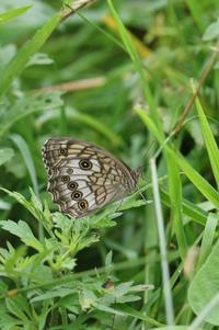草原のキマダラモドキとジャノメチョウ - 蝶超天国