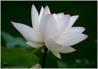 蓮とヤンマ - 野鳥の素顔 <野鳥と日々の出来事>