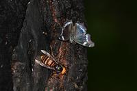 樹液に集うルリタテハとクロコノマチョウ Byヒナ - 仲良し夫婦DE生き物ブログ