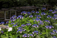 伏見・濠川の紫陽花たち - 花景色-K.W.C. PhotoBlog