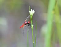 2020.7.26湿原のトンボたち - Kochikuro12's Blog